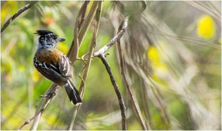 Black-crested Antshrike - Sakesphorus canadensis-min