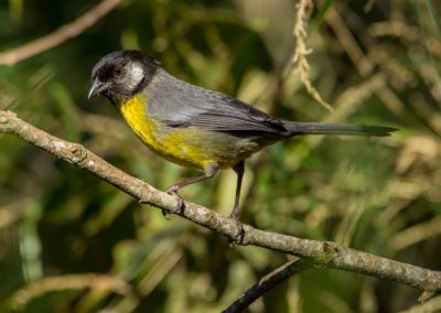 Santa Marta Brush-Finch - Atlapetes melanocephalus (2)-min