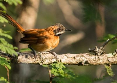 White-wiskered Spinetail smr-min