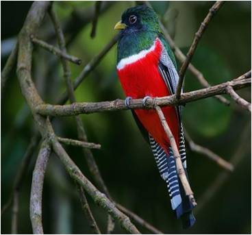 Collared Trogon (Trogon collaris
