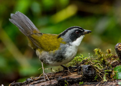 Grey-browed Brush-Finch - Arremos assimilis