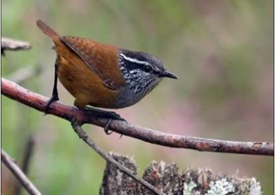 Munchique Wood-Wren – E