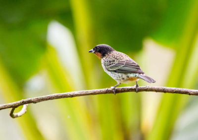 Rufous-throated Tanager - Tangara rufigula