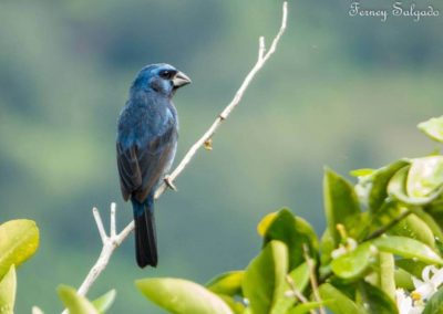 Ultramarine Grosbeak - Cyanocompsa brissonii.