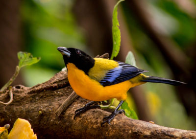 Black-chinned Mountain Tanager - Anisognathus notabilis